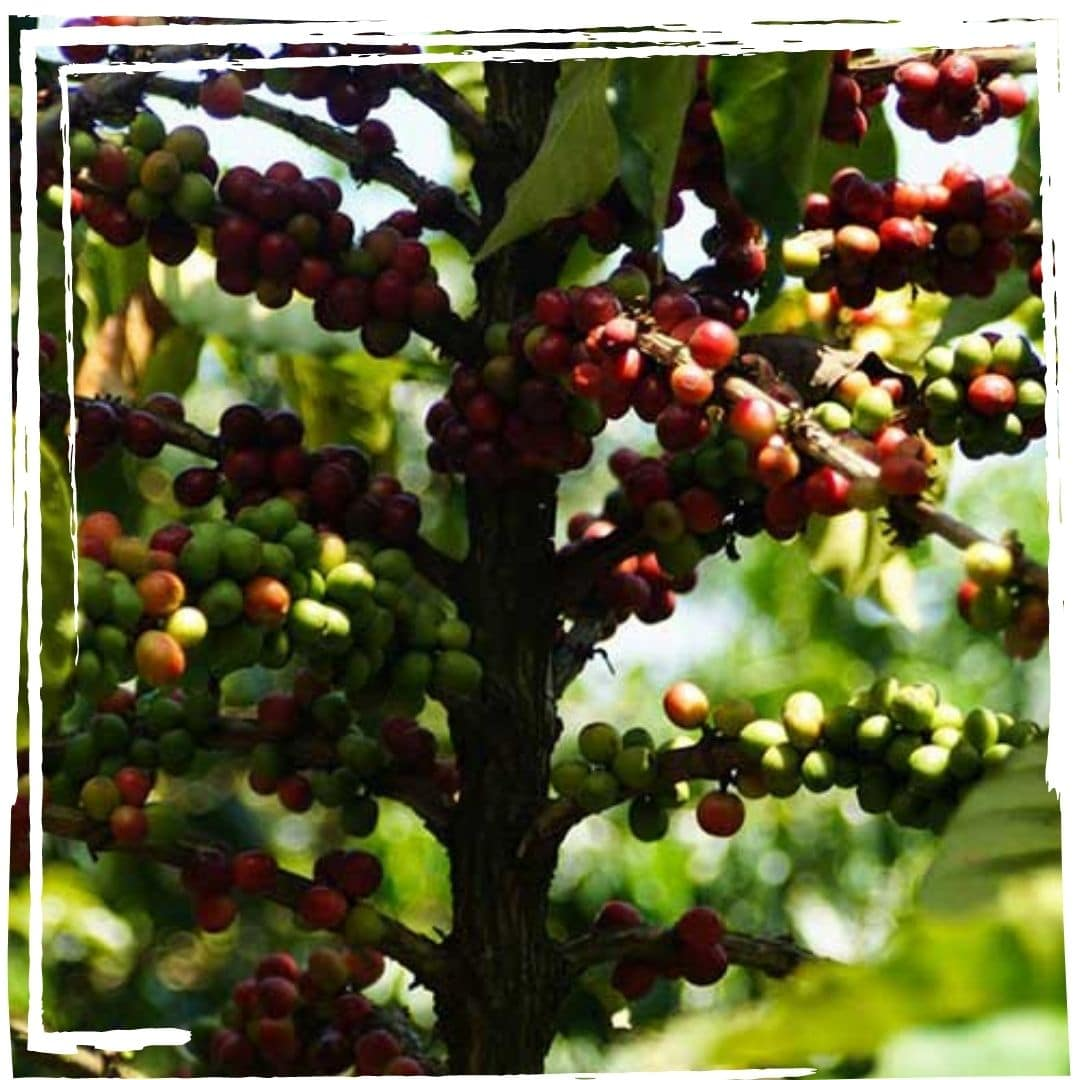 kaffeeplantage kaffeegenuss innsbruck barista sca 2